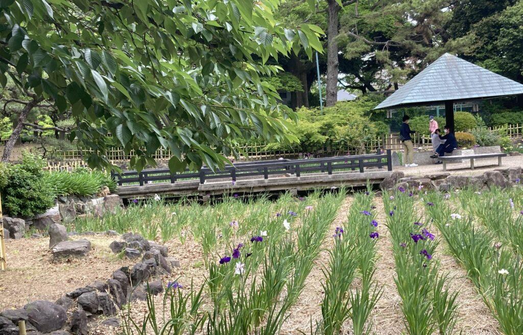 2021.5鶴舞公園の菖蒲